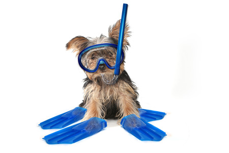 Fun Beach Themed Yorkshire Terrier Perfect for Calendars Фото со стока - 37398003