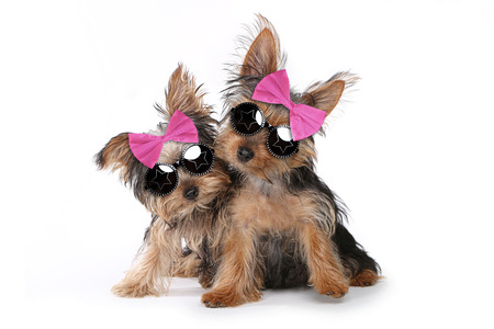 Cute Yorkshire Terrier Puppies Dressed up in Pink Foto de archivo