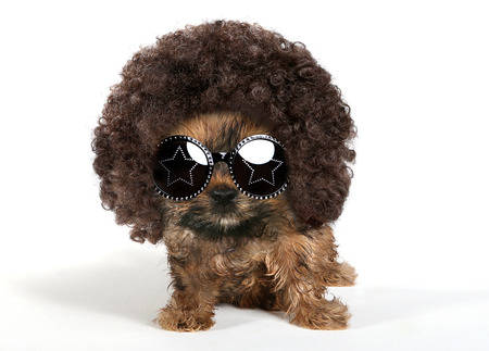 Baby Yorkshire Terrier Puppy Wearing an Afro and Sun Glasses Foto de archivo