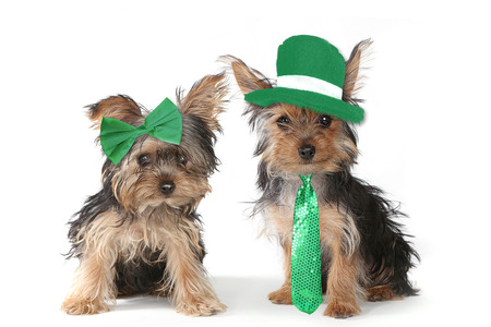 miniature dog: Adorable Yorkshire Terrier Puppies Celebrating Saint Patricks Day