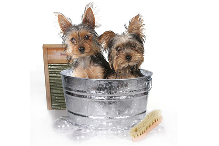 one dog: Tiny Teacup Yorkshire Terriers on White Bathing