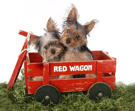 animal themes: Adorable Yorkshire Terrier Puppies in a Wagon
