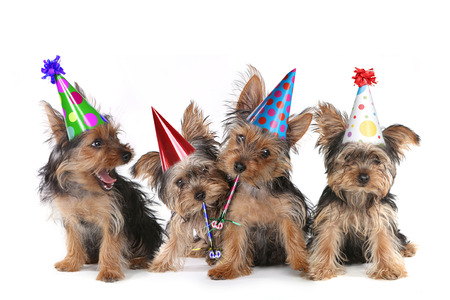 Gelukkige Verjaardag Thema Yorkshire Terrier puppies op een witte Zingen Stockfoto