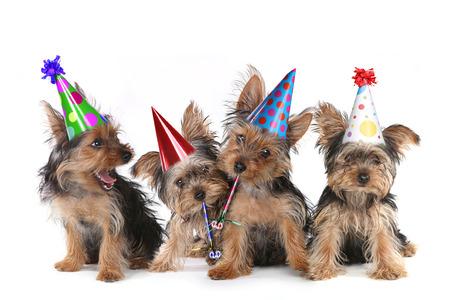 auguri di compleanno: Happy Birthday tema Cuccioli Yorkshire Terrier su Canto Bianco Archivio Fotografico