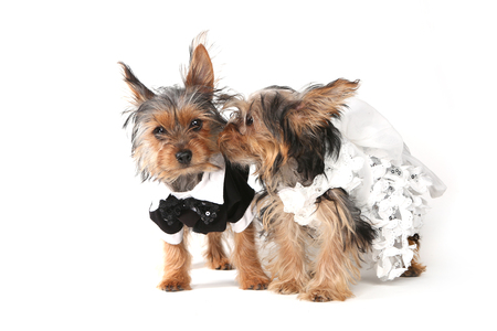 yorkie: Bridal Couple Yorkshire Terrier Puppies on White Background