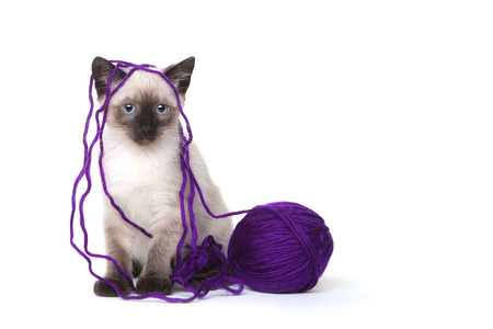 siamese cats: Siamese Kittens on White Background With Ball of Purple Yarn