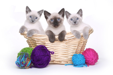 blue siamese cat: Siamese Kittens on White Background With Basket of Yarn