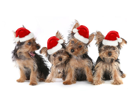 stitting: Sitting Puppy Dogs With Cute Expression and Santa Hat