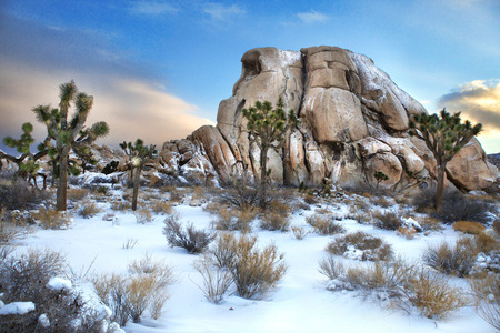 snow tree: Joshua Tree National Park After Snow Storm