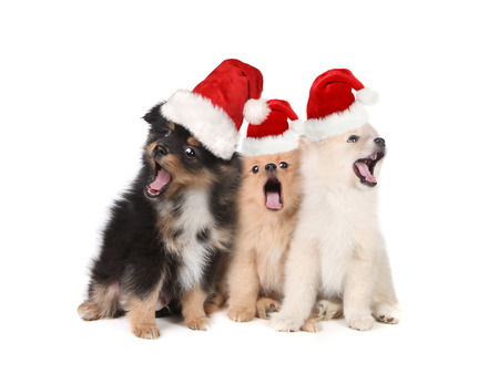 Singing Christmas Puppies Wearing Santa Hats on White