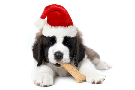 stitting: Cute Saint Bernard Puppy Wearing Santa Hat Chewing Bone Stock Photo
