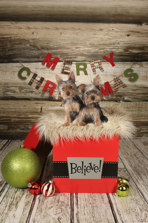 stitting: Yorkie Puppies on a Christmas Themed Background