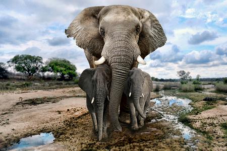 Schöne Bilder von afrikanischen Elefanten in Afrika Standard-Bild