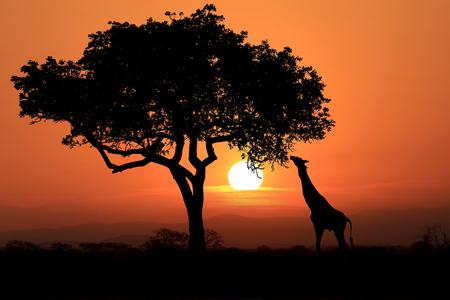the national flag of kenya: Jirafas africanas del sur en la puesta del sol en África Foto de archivo