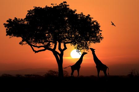 Jirafas africanas del sur en la puesta del sol en África Foto de archivo - 70088419