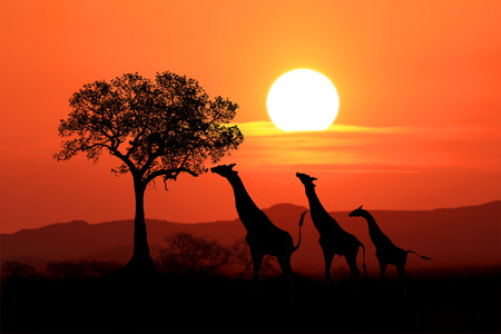 kenya: South African Giraffes at Sunset in Africa