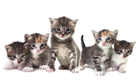 grey cat: Herd of Kittens on a White Background
