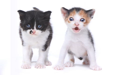 heartwarming: Two Adorable Baby Kittens on White Background
