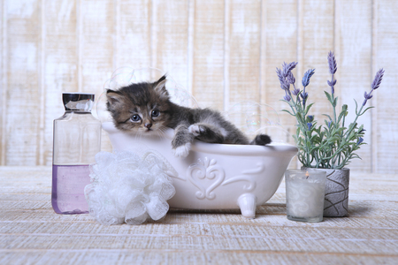Funny Adorable Kitten in A Bathtub Relaxing Фото со стока - 77501093