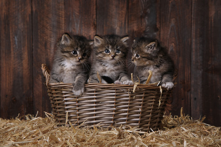 heartwarming: Adorable Kittens in a Barn Setting With Hay