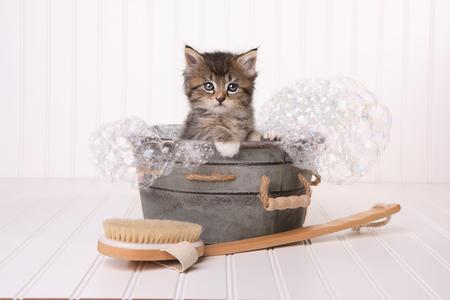 Maincoon Kitten With Big Eyes Biorąc Bubble Bath