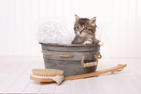 泡風呂の大きな目で Maincoon 子猫