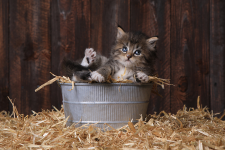 heartwarming: Adorable Kitten With Straw in a Barn
