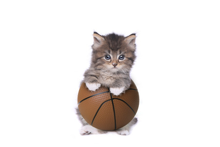 Maincoon Kitten With a Basketball on White