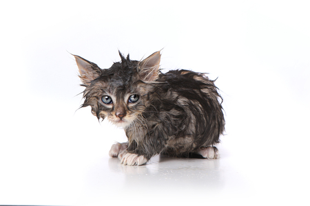 Unhappy, Wet and Mad Kitten After a Bath 免版税图像