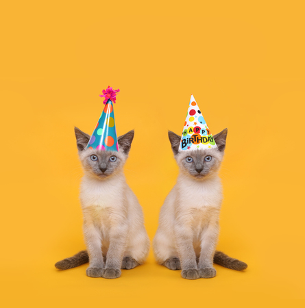 Siamese Party Cats Wearing Birthday Hats Stock Photo