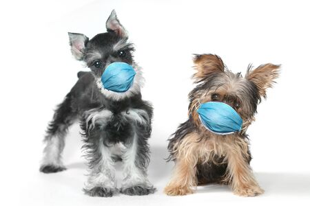 Adorable Yorkshire Terrier  and Schnauzer Puppy Wearing PPE Mask Фото со стока