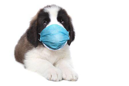 Adorable Saint Bernard Puppy Sitting Wearing PPE Mask