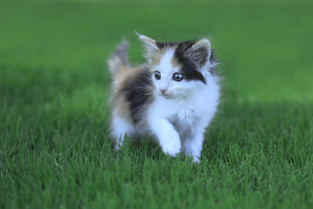 Tiny Calico Kitten Outdoor in the Green Grass