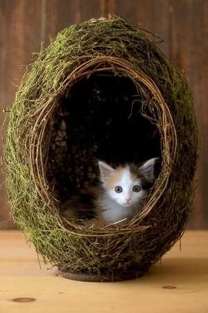 Tiny Calico Kitten Inside a Grass Egg on Wooden Background Фото со стока