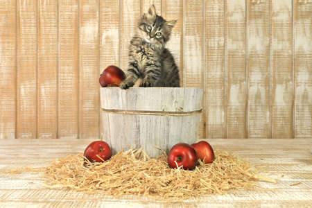 Posing Kitten in a Barrell of Apples