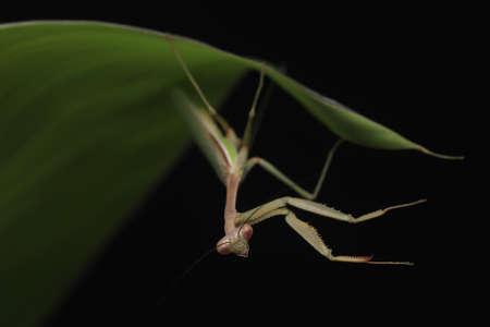 Crisp, Clean studio Shot of Green Praying Mantis on Black Background