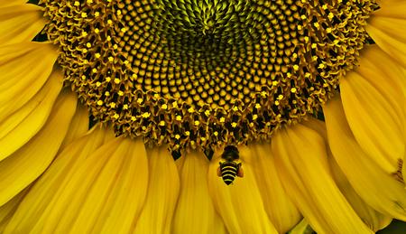 recoger: Primer del girasol y de la abeja volar el polen a cobro revertido