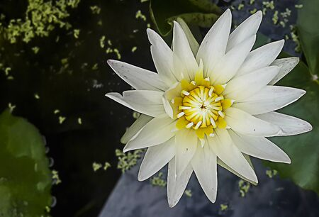 White Lotus-White Water Lily full bloom on water surface in the pond with lilly pads, Top view