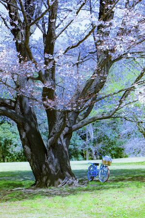 Cherry Trees and Bicycles and Cycling