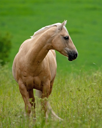 Beautiful Pale Brown Horse, a quarter stallion in the field looking aside  Uppland, Sweden photo
