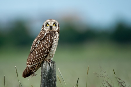 The short-eared owl  Asio flammeus  looking at you sitting on an old wooden post  Uppland, Sweden photo