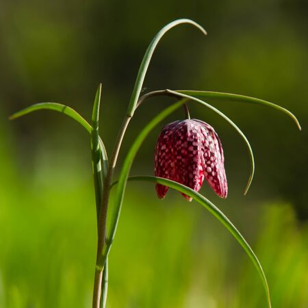 The beautiful fritillary  Fritilaria meleagris  with the chequered flower with a calm green background  Uppland, Sweden photo