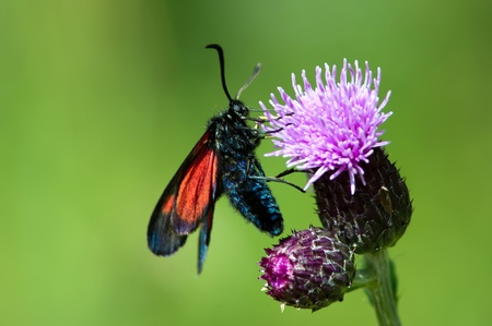 forewing: The New Forest Burnet  Zygaena viciae  is similar but smaller than the Narrow-Bordered Five-Spot Burnet  Zygaena lonicerae   Here on a thistle in Uppland, Sweden Stock Photo