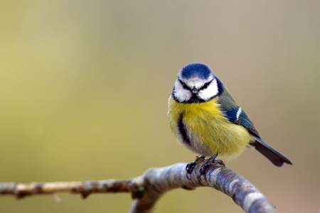 caeruleus: A Blue Tit  Parus caeruleus  looking at you from an oak twig in Uppland, Sweden
