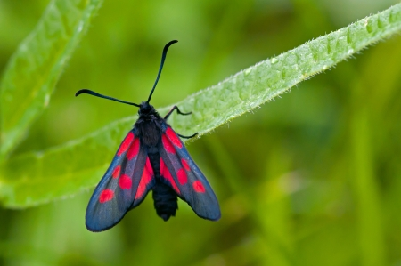 zygaena: The Narrow-Bordered Five-Spot Burnet  Zygaena lonicerae , a moth and a butterfly, here found in  Uppland, Sweden