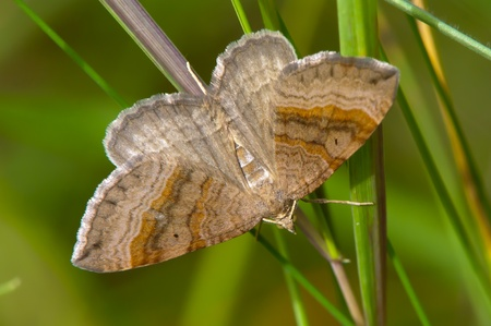forewing: The Shaded Broad-bar  Scotopteryx chenpodiata  described by Linnaeus, 1758  Wingspan 29-33 mm  In Uppland, Sweden