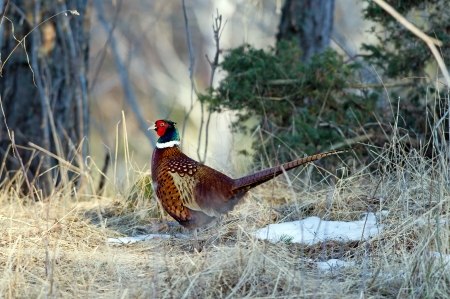 The beautiful colored male Pheasant  Phasianus colchicus  is a gallinaceous bird who prefer a farming landscapes with bushes between the fields  Uppland, Sweden