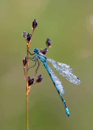 zygoptera: A dew sprinkled dragonfly waiting for the sun  Uppland, Sweden Stock Photo