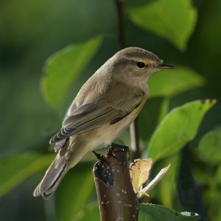 songster: A chiffchaff looking for insects in the pear tree