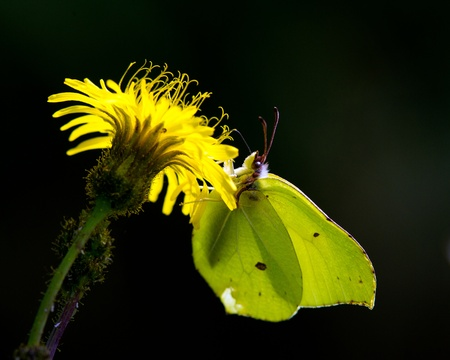 hawkweed: The brimstone butterfly and the hawkweed against the light with a black background